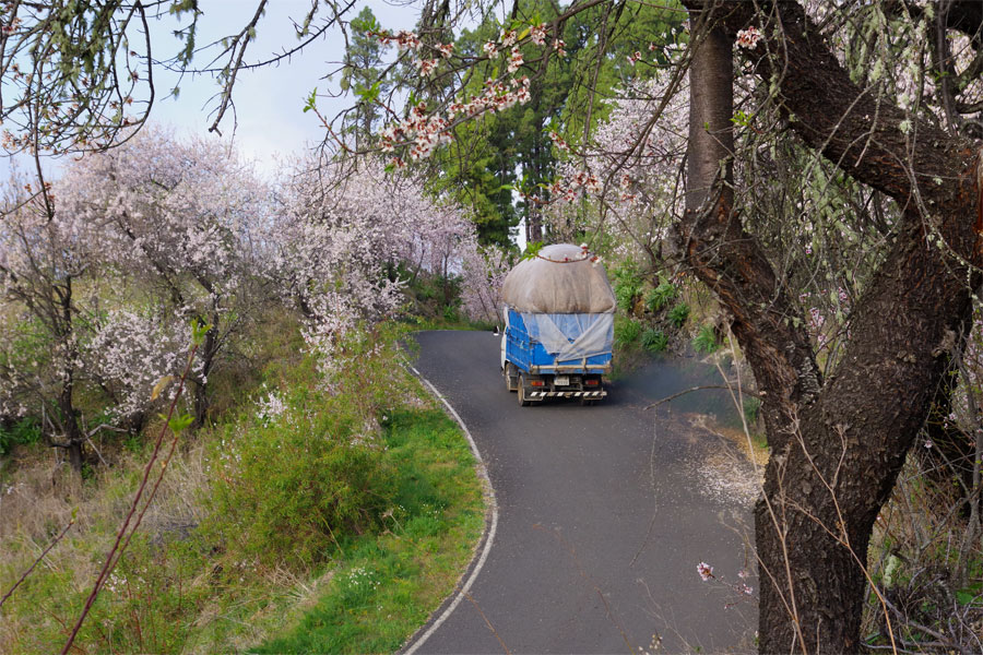 A lorry full of pine needles for animal bedding driving past almond blossom, Garafia, La Palma island