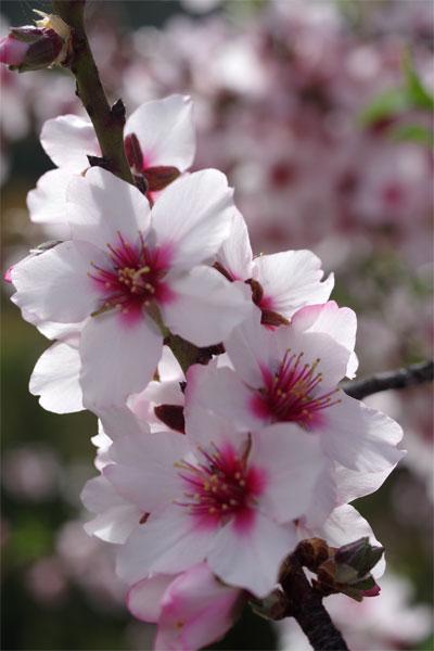Close up of almond blossom, Garafia, La Palma island
