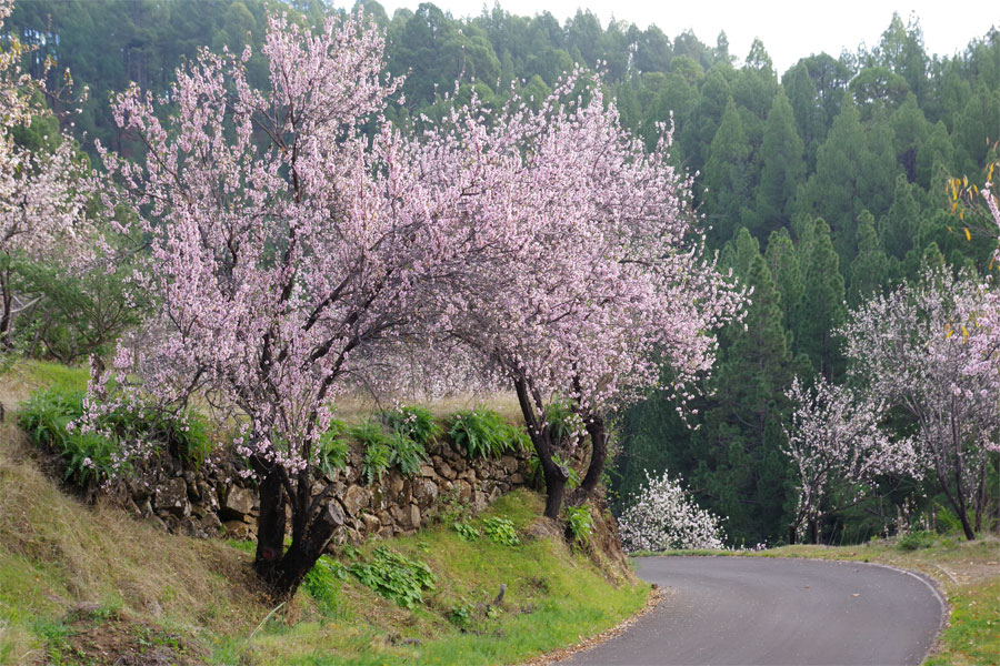 The LP111 road from Briestas to Tinizara, La Palma island