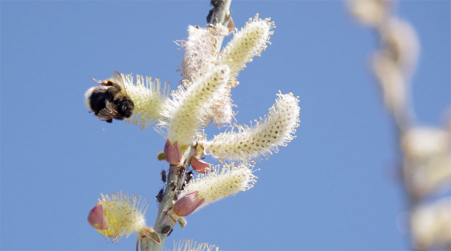 A bumble bee and willow catkins, Caldera visitor centre